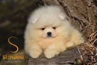 Pomeranac teddy bear
