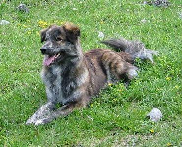 Pirinejski ovčar (kratke dlake)