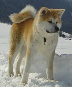 Akita -Veliki japanski pas