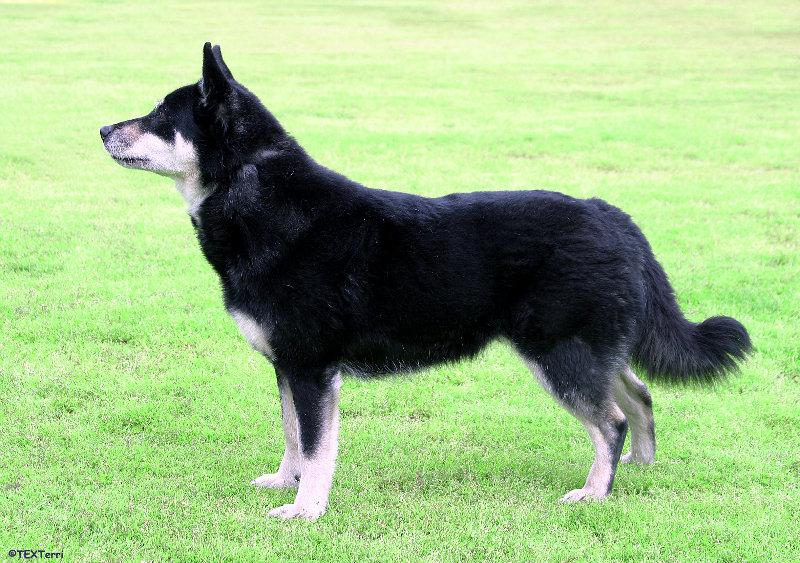 Laponski pastirski pas