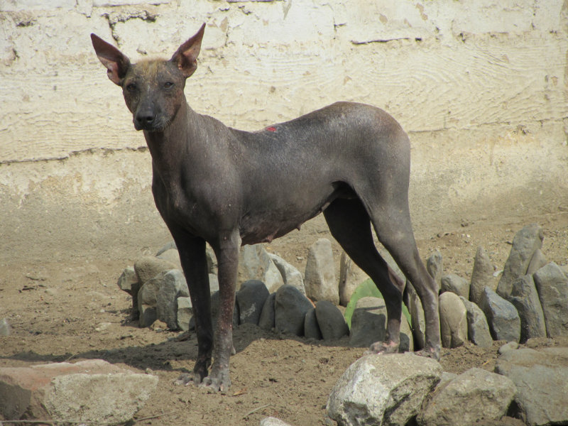 Peruanski inka pas