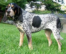 Veliki plavi gaskonjski pas