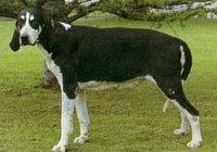Veliki englesko-francuski belo crni gonič