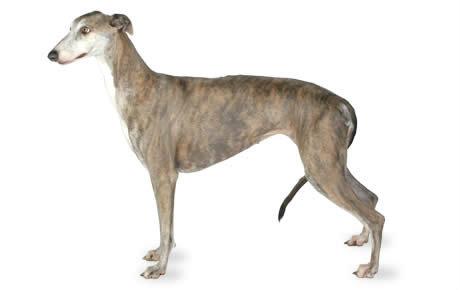 Veliki engleski hrt- Grejhund
