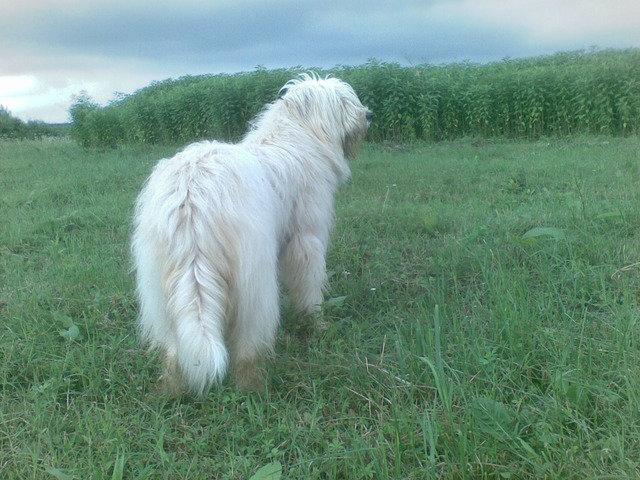 Južnoruski ovčar