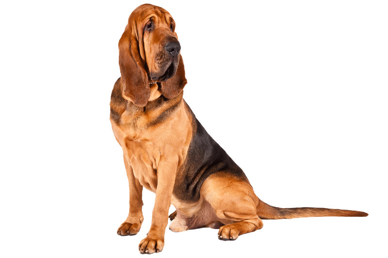 Pas svetog huberta- blodhund