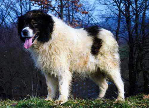 Tornjak - Bosansko-Hercegovački pastirski pas