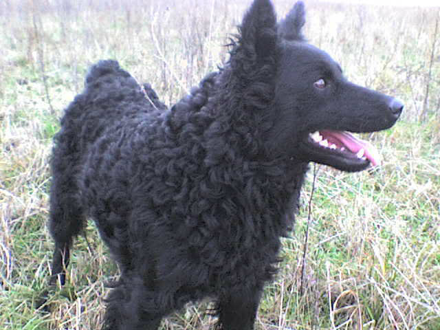 Hrvatski ovčar