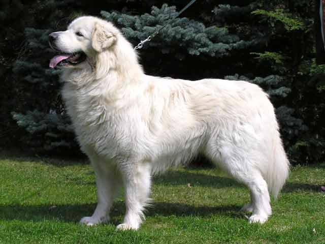 Slovački pastirski pas