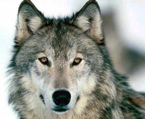 Sarloški vučiji pas