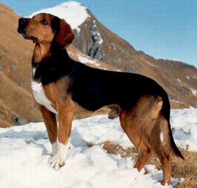 Tirolski gonič