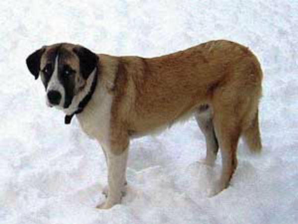 Alentejski pastirski pas