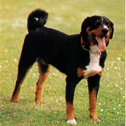 Apencelski pastirski pas