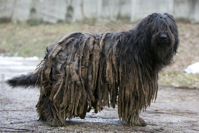 Bergamski pastirski pas