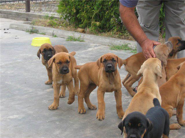 Srpski odbrambeni pas