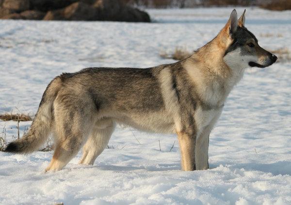 Čehoslovački vučiji pas
