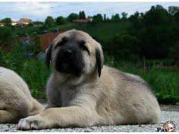 Anadolski pastirski pas