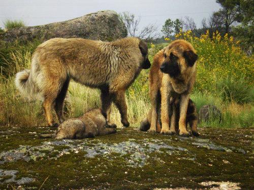 Estrelski pastirski pas