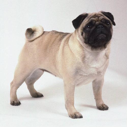 Mops (pug)