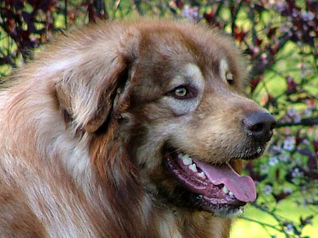 Šarplaninac - YU ovčarski pas