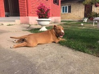 Pit bull red nose, stenci, pitbull stenad